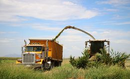 Corn Harvest. Corn is being harvested by forage harvester and collecting truck Royalty Free Stock Photography