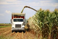 Corn Harvest. Corn is being harvested by forage harvester and collecting truck Stock Photo