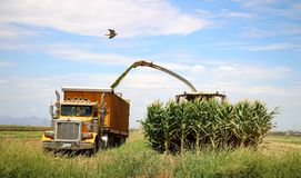 Corn Harvest. Corn is being harvested by forage harvester and collecting truck Stock Image