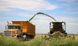 Corn Harvest. Corn is being harvested by forage harvester and collecting truck Stock Photography