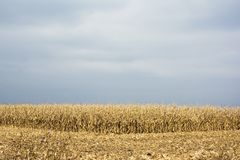 Corn harvest with combain Stock Photo