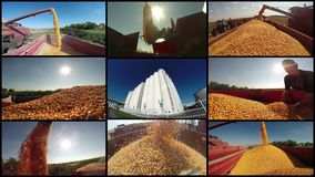 Corn Harvest. In different situation - agriculture concept . 4k footage stock video