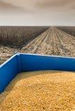 Corn harvest Stock Photos