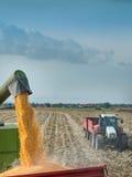Corn harvest on farmland Royalty Free Stock Photo
