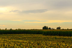 Corn Harvest Has Begun. In a central Illinois cornfield, the harvest has begun. Several rows of already-harvested corn are visible in front of those still Royalty Free Stock Photos