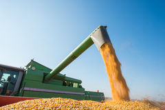 Corn harvest. Corn from the hopper to the tractor vehicle Stock Photography