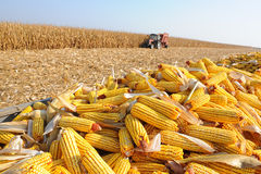Corn Harvest. Picking corn and transfering to a wagon Stock Photos