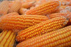 Corn after harvest Royalty Free Stock Photography