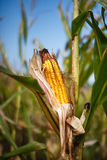 Corn Harvest Time Field Farm Agriculture. Ear of corn on stalk in a corn field on a farm in Bluemont Virginia in late September - ready for harvest Stock Photography