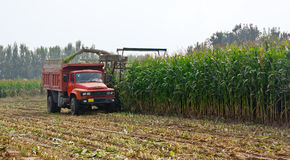 Corn Harvest. In a traditional way, Beijing, China Stock Photos