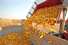 Corn harvesting Royalty Free Stock Photos