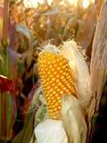 Corn harvesting Stock Photo