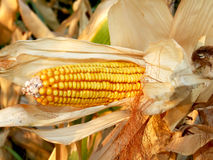 Corn harvesting. Close up of yellow corn field in autumn Stock Image