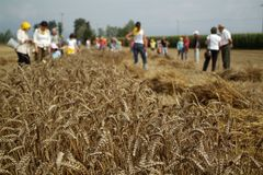 Corn Harvesting. Harvesting, as in past times Royalty Free Stock Photography