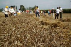 Corn Harvesting Royalty Free Stock Photography