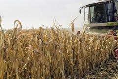 Corn harvesting Stock Image