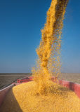 Corn harvesting Stock Images