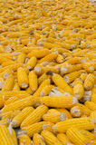Corn harvesting. Photo taken on September 10th 2014 Royalty Free Stock Photography