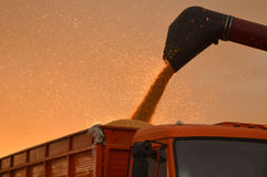Corn harvesting on sunset Royalty Free Stock Photography