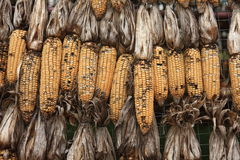 Corn has been damaged. In The Ranch Of Thailand Stock Images