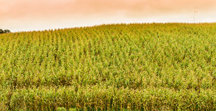 Corn on the hill Royalty Free Stock Image