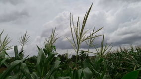 Corn hit by a gust of wind stock video