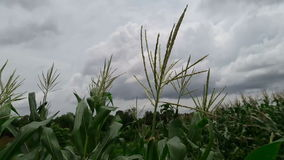 Corn hit by a gust of wind stock video footage