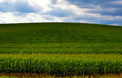 Corn Horizon In Shadow. Driving down a lengthy stretch of road this wonderful hill came into view. The light and clouds played games with the shadows and timing royalty free stock image