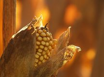 Corn and husk Stock Images