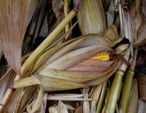 Corn husk Royalty Free Stock Photography