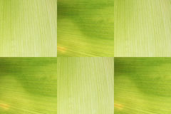 The corn husks isolated. Royalty Free Stock Photography