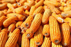 Corn. In Indonesia, after the corn harvest will be dried in the sun for some time. so that the water content is reduced and easy to remove the corn kernels Royalty Free Stock Images