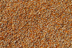 Corn. In Indonesia, after the corn harvest will be dried in the sun for some time. so that the water content is reduced and easy to remove the corn kernels Royalty Free Stock Photos