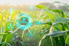 Corn Inspection Results in Agroforestry With Modern Technology. Concepts Stock Image