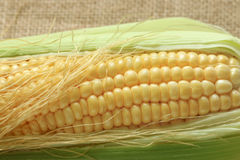 Corn isolate on sackcloth. Royalty Free Stock Images