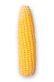 Corn isolated with clipping path. Stock Image