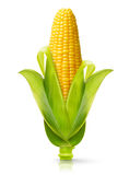 Corn isolated. Ear of corn isolated on a white background. Fresh corncob Royalty Free Stock Image
