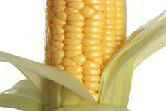 Corn. The isolated freshly harvested corn, macro, closeup royalty free stock image