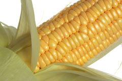 Corn. The isolated freshly harvested corn, macro, closeup royalty free stock images