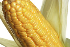 Corn. The isolated freshly harvested corn, macro, closeup stock images