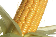Corn. The isolated freshly harvested corn, macro, closeup royalty free stock photography