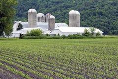 Corn in June. Farm in Wisconsin stock image