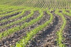 Corn in June stock photo