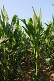 Corn in June. Con in June growing up royalty free stock photo
