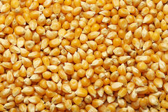 Corn kernels arranged as the background Royalty Free Stock Photo
