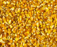 Corn kernels as the background Stock Image