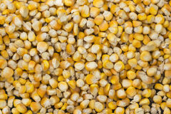 Corn kernels in close-up. Stock Photo