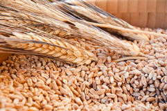 Corn kernels with the ear inside a wooden container Stock Image