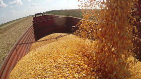 Corn Kernels Fall Into a Tractor Trailer for Transport to the Grain Silos. Unloading freshly harvested corn grains. HD1080p stock footage