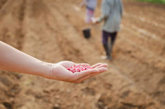 Corn kernels on hand for farming. In field Stock Image